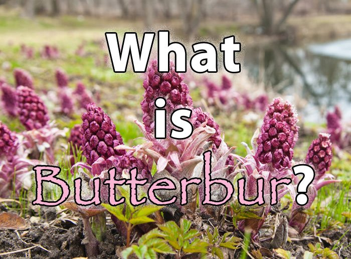What is Butterbur?