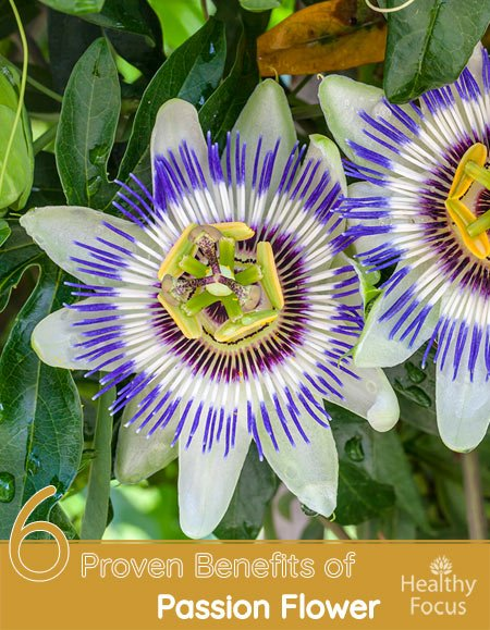 6 Proven Benefits of Passion Flower
