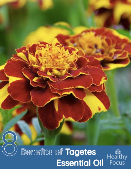 8 Benefits of Tagetes Essential oil