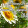 Proven Roman Chamomile Essential Oil Benefits