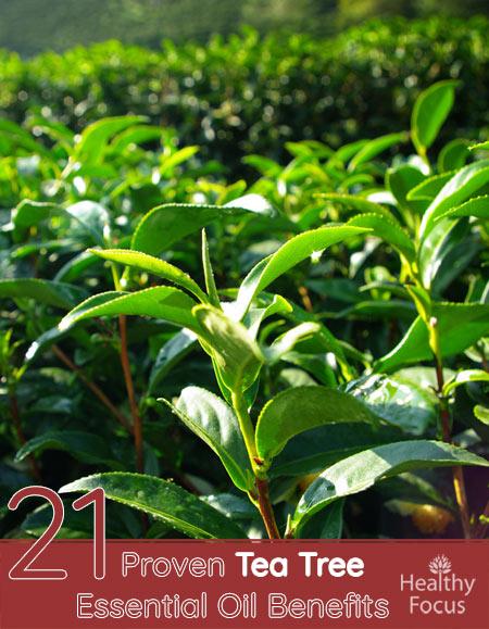 21 Proven Tea Tree Essential Oil Benefits