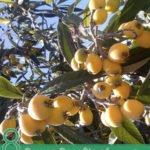 8 Proven Benefits of Loquat leaves