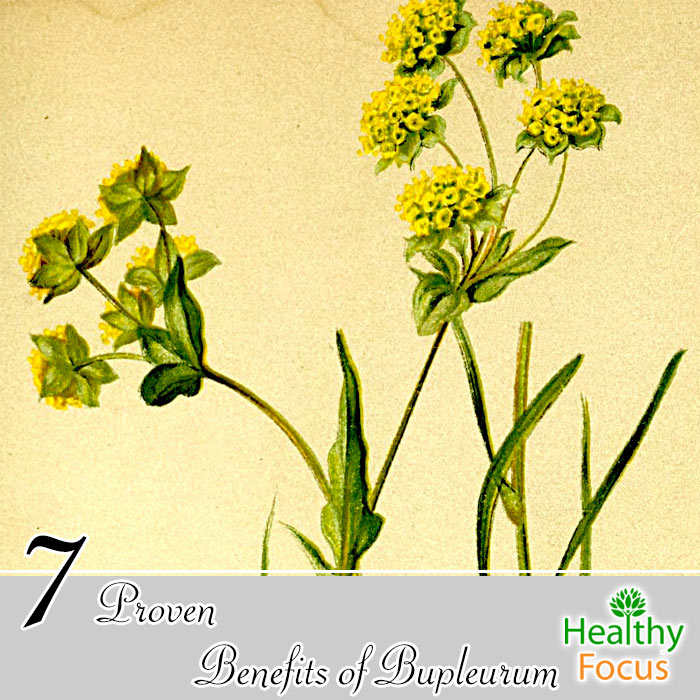 hdr-7-proven-benefits-of-bupleurum
