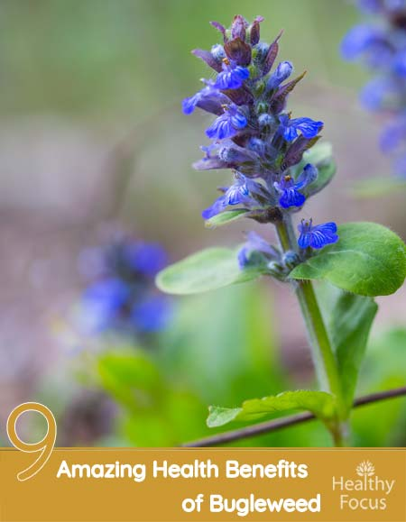 9 Amazing Health Benefits of Bugleweed