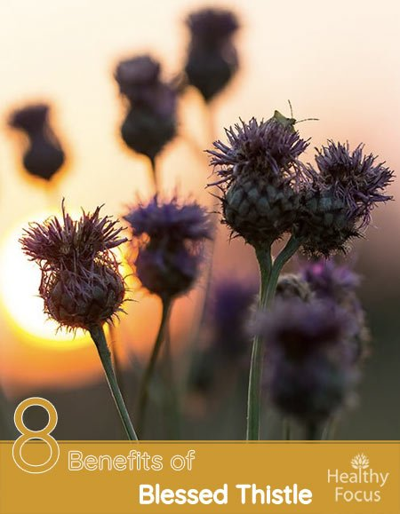 8 Benefits of Blessed Thistle