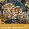 Benefits of Turkey Tail Mushrooms