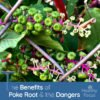 The Benefits of Poke Root and the Dangers