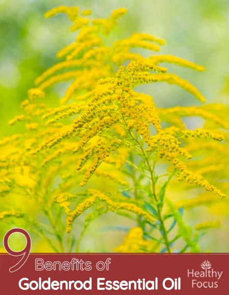 9 Benefits of Goldenrod Essential Oil