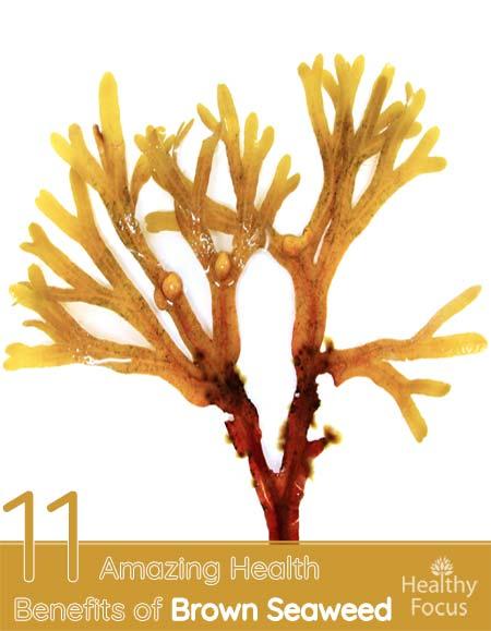 11 avantages étonnants pour la santé des algues brunes &quot;width =&quot; 450 &quot;height =&quot; 579 &quot;/&gt;</a></h2><h2>Les bienfaits des algues brunes</h2><p>Parfois, les substances les plus saines sont souvent celles que vous voyez ou entendez tous les jours mais que vous ne considérez pas vraiment: par exemple, tout le monde aime les bananes et sait qu&#39;elles sont bonnes pour vous , mais les avantages spécifiques du fruit sont inconnus pour la plupart des gens. <strong>Cela est vrai pour de nombreuses substances, mais certaines ne reçoivent même pas ce genre d&#39;attention.</strong></p><h2>Qu&#39;est-ce que l&#39;algue brune?</h2><p>L&#39;algue brune, scientifiquement ou botaniquement connue sous le nom de Fucus vesiculosus, est un légume de la mer souvent utilisé en cuisine, surtout dans les plats asiatiques, il peut être consommé cru, mariné ou cuit et sa texture dépend de la façon dont les algues ont été préparées. <strong>Par exemple, les algues crues ou marinées ont une texture plus croustillante, tandis que les algues cuites sont beaucoup plus tendres. Il peut être trouvé dans miyeok guk, qui est une soupe coréenne, et il peut également être ajouté à la soupe miso ou salade d&#39;algues.</strong></p><p>Vous pouvez également voir des algues marron dénommé fucus, selon où tu es. <strong>Dans l&#39;ensemble, l&#39;algue brune a fait l&#39;objet de peu de recherches pour ses bienfaits sur la santé, ce qui explique pourquoi il semble y avoir peu d&#39;information sur son extrait.</strong></p><p>Cela dit, tout le monde sait , surtout si vous avez déjà été à la plage. Vous avez probablement vu des algues brunes échouées sur la rive, car c&#39;est une algue qui peut être trouvée autour du monde dans les océans frais. Néanmoins, <strong>des études ont été menées sur certains des avantages des algues brunes, prouvant que le légume marin est en réalité très sain.</strong></p><h2>Composition nutritionnelle des algues brunes</h2><p>Comme les études l&#39;ont