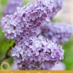 9 Proven Benefits of Lilac Essential Oil