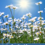 12 Amazing Benefits of German Chamomile Essential Oil
