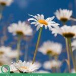9 Amazing Health Benefits of Daisies