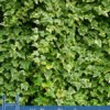 Health Benefits of Hedera Helix