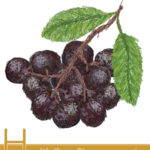 Health Benefits of Chokeberry