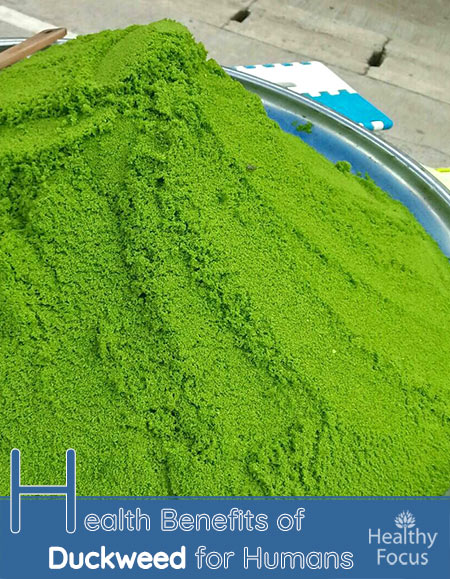 Health Benefits of Duckweed for Humans